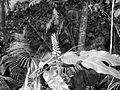 COLLECTIE TROPENMUSEUM Bloeiende Zingiberaceae in het bos bij Keloed TMnr 10006131.jpg
