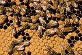CSIRO ScienceImage 6587 European honeybees Apis mellifera in a hive.jpg