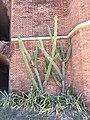 Cactus, Fort Jefferson, Dry Tortugas National Park, FL (27225303217).jpg