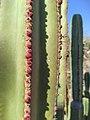 Cactus órgano o chilayo (Pachycereus marginatus).jpg