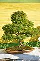 Caesalpinia coriaria - Bonsai - Kolkata 2013-11-10 4513.JPG
