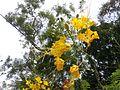 Caesalpinia pulcherrima yellow variety in Mihintale, Sri Lanka.jpg