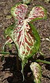Caladium 'Modern Art' Leaf.JPG