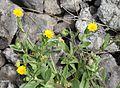 Calendula arvensis IMG 4826 tenerife chio.JPG