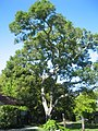 Calif. Live Oak - panoramio.jpg