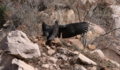 California condor chick -871 spreads its wings to the sun. (25655015988).png
