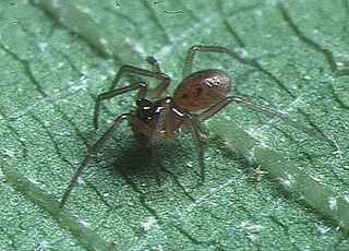 <i>Callitrichia</i> Genus of spiders