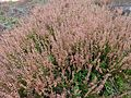 Calluna vulgaris 03.JPG