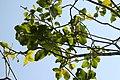 Calodendrum capense 3zz.jpg