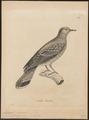 Caloenas rousseau - 1700-1880 - Print - Iconographia Zoologica - Special Collections University of Amsterdam - UBA01 IZ15600307.tif