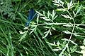Calopteryx virgo 01 by-dpc.jpg