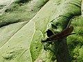 Calopteryx virgo IMG 6668^.jpg