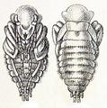 Calosoma sycophanta pupa Reitter.png