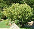 Calpurnia sericea, habitus, Walter Sisulu NBT.jpg