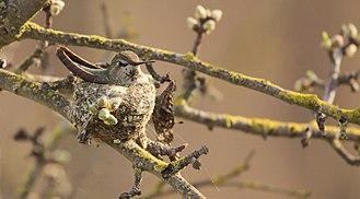 Anna's hummingbird - A female incubates eggs in a camouflaged nest.