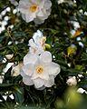 Camellia japonica 'Lady Vansittart' flower at RHS Garden Hyde Hall, Essex, England 03.jpg