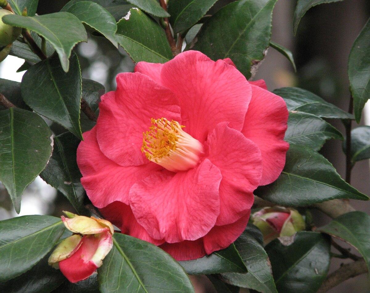 camellia japonica 39 the czar 39 wikipedia. Black Bedroom Furniture Sets. Home Design Ideas
