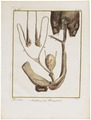 Camelus dromedarius - ingewanden - 1700-1880 - Print - Iconographia Zoologica - Special Collections University of Amsterdam - UBA01 IZ21600091.tif