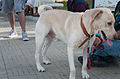 Caminata por los perros y animales Maracaibo 2012 (15).jpg