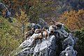 Camosci nel bosco di monte Amaro - Foto Angelina Iannarelli.jpg