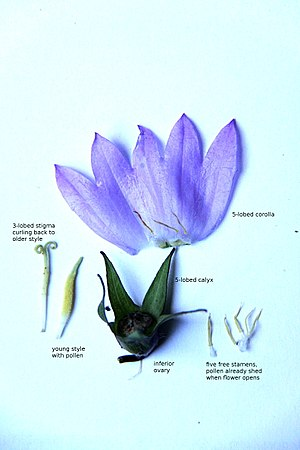 Campanula - Image: Campanula flower parts text
