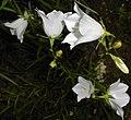 Campanula persicifolia 2015-06-20 3405.JPG