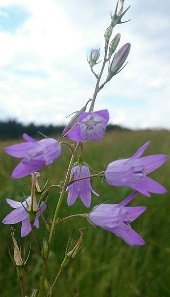 Campanula rapunculus (Campanulaceae) (Rampion Bellflower), Lorry-Mardigny, France