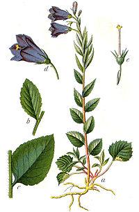 Campanula rhomboidalis Sturm58