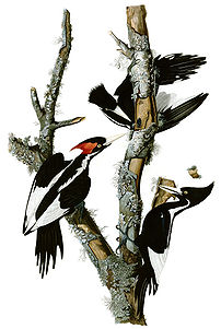 Ivory-billed Woodpecker , Campephilus principa...