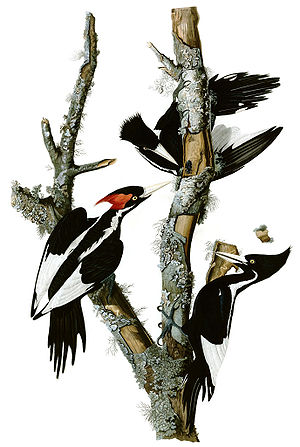 Ivory-billed woodpecker - Painting by John James Audubon