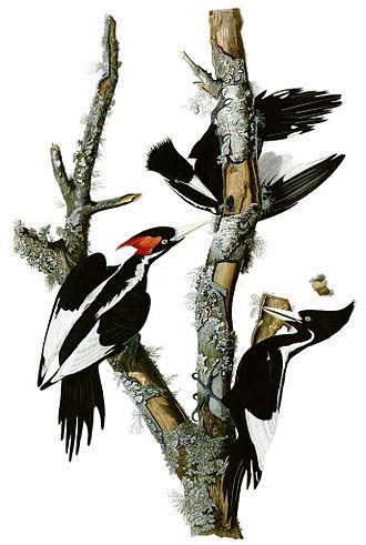 Ivory-billed woodpecker - Painting by John James Audubon