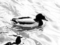Canard flottant sur l'eau.JPG