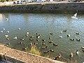 Canards et mouettes dans le Boudigau 1.jpg