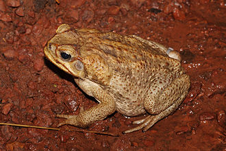 Cane toad - Adult female