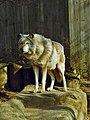 Canidae - Canis sp. - Wolf (8299157709).jpg