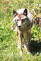 Canis latrans PO.jpg