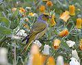 Cape Canary (Serinus canicollis) 1.jpg