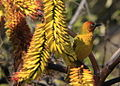 Cape Weaver (Ploceus capensis) in aloe (7623214152).jpg
