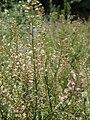 Capsella bursa-pasto-summer.jpg