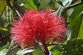 Carbonero rojo (Calliandra hematocephala) (14616921933).jpg