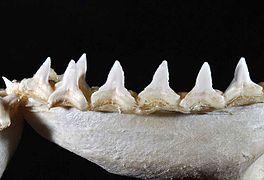 Carcharhinus leucas lower teeth