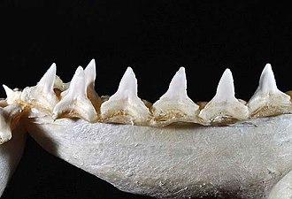 Bull shark - Image: Carcharhinus leucas lower teeth