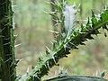 Carduus crispus Kiev3.jpg