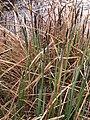 Carex acutiformis inflorescens (10).jpg