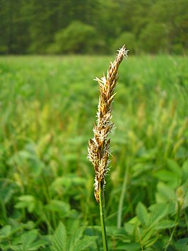 Carex disticha inflorescens (22).jpg