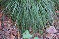 Carex divulsa - Leaning Pine Arboretum - DSC05830.JPG