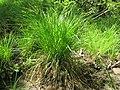 Carex elongata plant (2).jpg