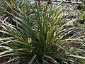 Carex morrowii 2016-04-03 6864.JPG