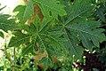 Carica papaya 21zz.jpg