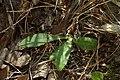 Carlina vulgaris kz02.jpg